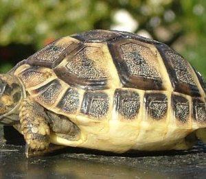 """Експерти от ДПП """"Сините камъни"""" освободиха в природата шипобедрена костенурка"""